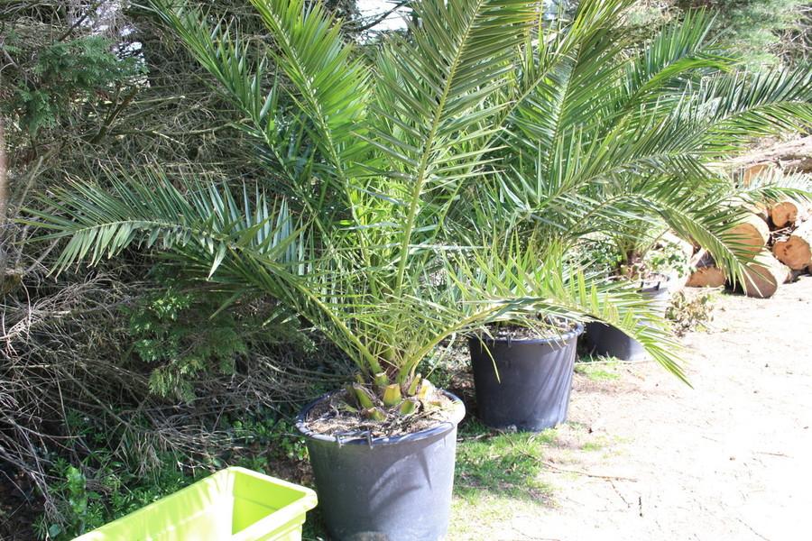 bambous en finistere bambouseraie peden palmiers. Black Bedroom Furniture Sets. Home Design Ideas